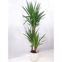 Yucca elephantipes 3er Tuff mit dicken Stämmen 150 cm / Zimmerpflanze Palme