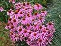 Sonnenhut 'Magnus' - Echinacea purpurea 'Magnus' - Beetstaude von Staudengärtnerei - Du und dein Garten