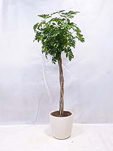 """[Palmenlager] Schefflera arboricola """"Gold Capella"""" 110 cm Hochstamm geflochten // Zimmerpflanze"""
