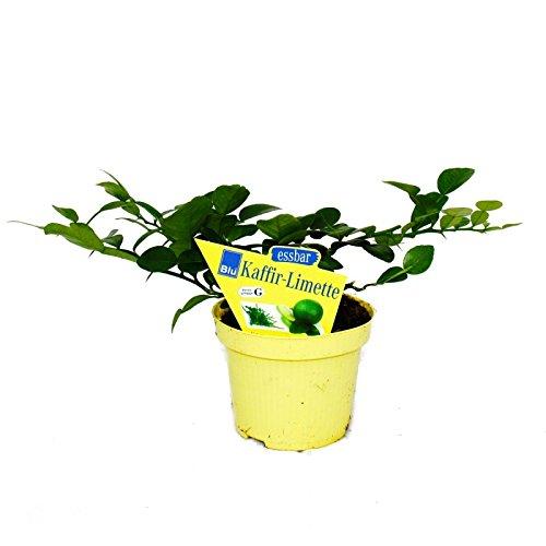Kaffir-Limette - Citrus hystrix - 1 Pflanze - Kaffernlimette Gewürzpflanze
