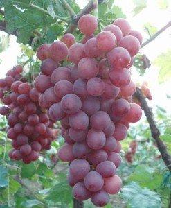 RWS raisins de vigne énormes sÌße vigne 5 graines (raisin rouge Globe)