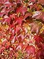 Wilder Wein 'Veitchii' - Schnellwachende Kletterpflanzen von Native Plants auf Du und dein Garten