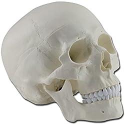 Modelo anatómico Calavera humano, 1x, desmontable en 3partes, para estudiantes, Universidad, didáctica