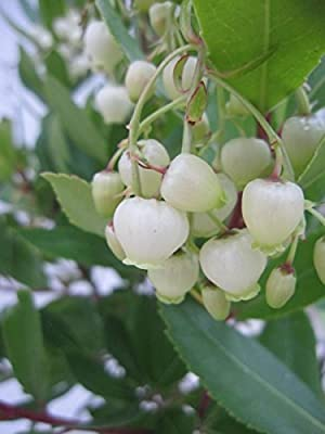 Arbutus unedo - Erdbeerbaum - 40-60 von Baumschule Pflanzenvielfalt - Du und dein Garten