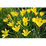 Urban Gardens Rain lily yellow (Zephyranthus sulphurea) - Set of 5