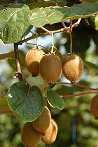 Cocktail Kiwi Mini Kiwi Actinidia arguta 100 Samen