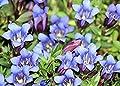 SANHOC Samen-Paket: Gentiana scabra VAR buergeri (Rare japanische Species) x Frische Seed