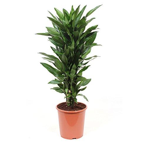 Zimmerpflanze von Botanicly - Drachenbaum - Höhe: 100 cm - Dracaena Janet Lind