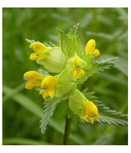 Shop Meeko Premier Seeds Direkt RTL01F 2 g Yellow Rattle Rhinanthus Minor Samen (Packung mit 600)