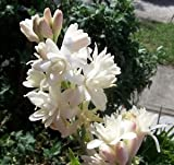 #1: Indian Gardening Rajanigandha Double Flowering Fragrant Flower Polianthes Tuberosa Bulbs 5 Bulbs