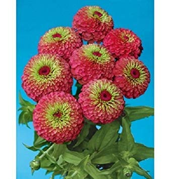 Farmerly New! 25+ Giant Queen Red Lime Green Zinnia Flower Seeds/Annual (Lime Queen Zinnia Red)