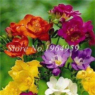 Shopmeeko Graines: Vase spécial coloré Bonsai Fleur Freesia Bonsai Décor rare orchidée Illuminez votre jardin personnel Bonsai 100 Pcs/Sac: 17
