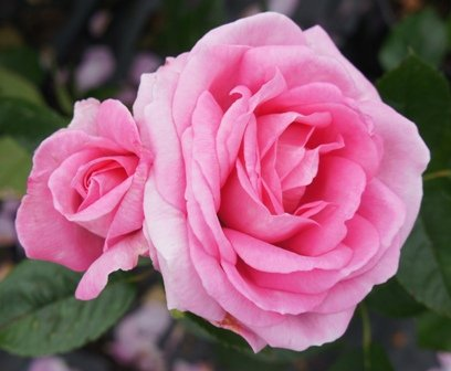 apuldram-roses-mum-in-a-million-hybrid-tea-bush-rose-potted