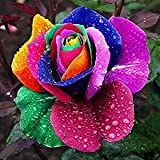 dreamshopping–Semi rosa arco iris Multicolore 25pezzi rosa Fiore semi Jardin Seed Rainbow