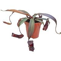 """Nepenthes""""Rebecca Soper"""" - rotblättrige sehr schöne Kannenpflanze - faszinierende fleischfressende Pflanze, welche als Einsteiger Karnivore geeignet ist"""