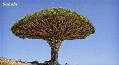 Dracaena arbre Graines, Arbre de sang (Dracaena draco), Graines rares Showy géant Fleur de cerisier Bonsai pot plantes de jardin 10 pièces 5
