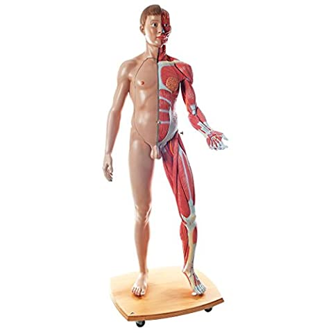 3B Scientific Human Anatomy - Life Size Dual Sex Muscular Figure, 41 Part