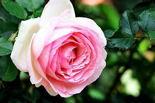Kletterrosen, 100 Stück, bunte Rosen, Pflanzen für Garten, Haus, Balkon, Zäune, Dekoration, Pflanzen Blumen - Pink Rosa Eden Seeds