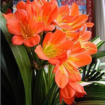 graines rares Clivia extérieur vivaces Bonsai Balcon fleurs en pot pour plantes ornementales Décor de jardin Facile à cultiver 100 pcs / sac 9