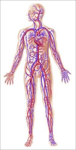 Alu Dibond 60 x 120 cm: Anatomy of human circulatory system. von Leonello Calvetti / Stocktrek Images