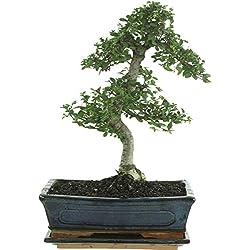 Chinesische Ulme, Bonsai, 11 Jahre, 35-40cm