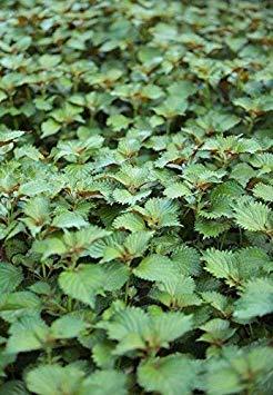 Shop Meeko SeeKay Perilla verts - Shiso - Basilic japonais - APPX 100 graines