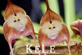 Nuevas semillas frescas 100 semillas de orquídeas, cara del mono hermosas orquídeas semillas, variedades de semillas múltiples Bonsai Negro