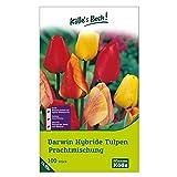 Kölle's Beste Darwin Hybride Tulpen Prachtmischung - Zwiebelgröße 11/12-100 Zwiebeln in der Packung - Blütenpracht in vielen Lieblingsfarben