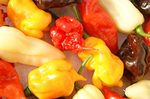 Portal Cool Habanero Mustard: C. Chinense Hot Pepper Reaper, Habanero, Geist Pfeffer Etc. Chili Samen 20+ Stück