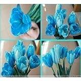 Semi 200pc olandese Cavolo tulipano. Aroma Tulip Plant (non è tulipano lampadine-lampadine trasporto deperibili) Advanced Seeds Bonsai Fiore