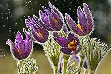 ASTONISH SEEDS: Multicolores: New 200pcs / lot arrl casera de las semillas...