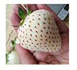 100x Weiße Erdbeeren Ananas Geschmack Samen Pflanze Obst essbar #121