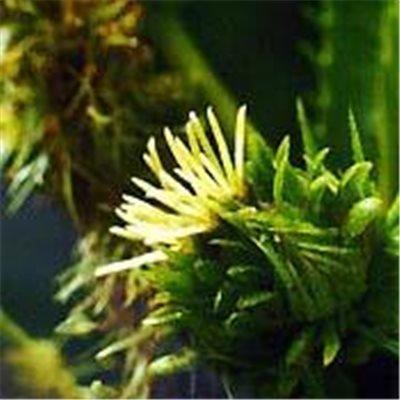 Bachblüten Original Sweet Chestnut 20 ml (20 ML)