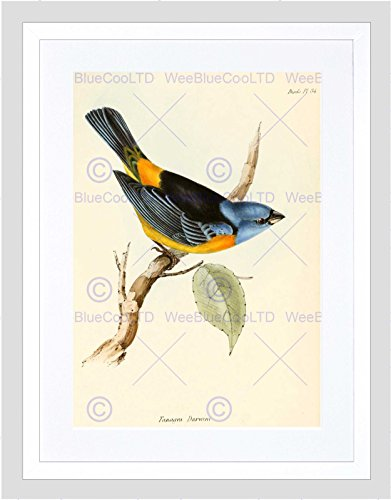 Finch 16 (SCIENTIFIC BIRD ILLUSTRATION FINCH TANAGRA DARWIN FRAMED ART PRINT B12X11247)