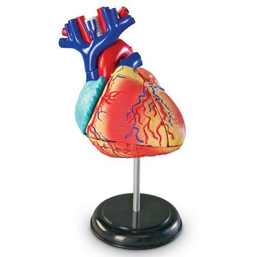 Learning Resources LER3334 Anatomiemodell des Herzens (Modell Herz)