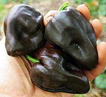 10 Chilhuacle Negro 'Hot Pepper Seed (Capsicum annuum) Organisches, heirloom