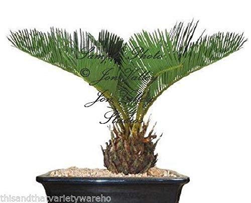portal cool 10 semi: sago palm tree seed cycas revoluta semi! fossile vivente facile da coltivare giardinaggio