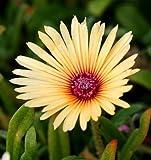 Pinkdose Blumensamen: Büschelgelber Hybride Sukkulente Gartenhecke (16 Pakete) Gartenpflanze Seeds By