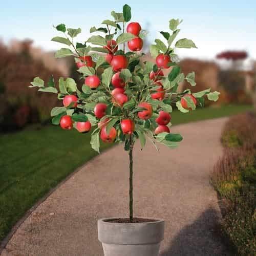 Tomasa Samenhaus- 20 Stücke Zwerg Apfelbaum Red, Organische Obst Pflanzen Miniatur Apfelbaum Süße Apfel Jonagold auf Stamm für Garten,Bauernhof