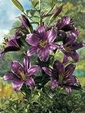 Lilium hybrid - Baum - Lilie' Purple Prince' 3 Blumenziebeln