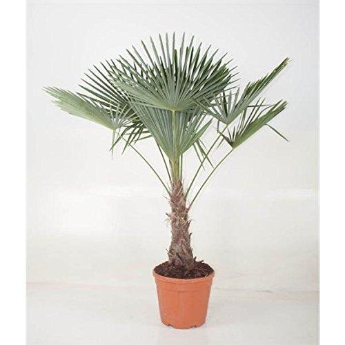 Chinesische Hanfpalme 170-180 cm Stamm 40-50 cm Trachycarpus fortunei