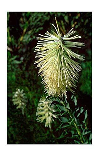 Portal Cool Samen Paket: 5 X Paranomus Reflekte Seeds - baum - B43