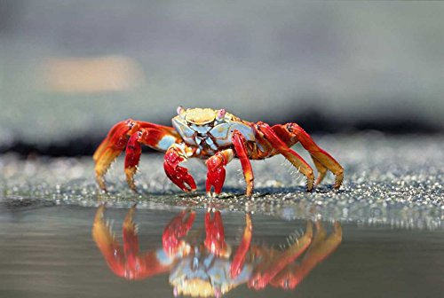 The Poster Corp Tui De Roy - Sally Lightfoot Crab Feeding Punta Espinosa Galapagos Islands Ecuador Kunstdruck (25,40 x 35,56 cm) - Sally Lightfoot Crab
