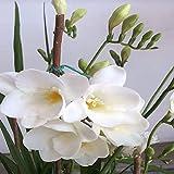 Coupeur de Branche, Professionnel Rond Bord Bonsai Cutter en Acier Inoxydable Jardin Branche Branchez Bonsai Outils Bouton Cut Branche