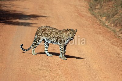 alu-dibond-image-120-x-80-cm-lankesian-leopard-yala-sri-lanka-image-sur-alu-dibond