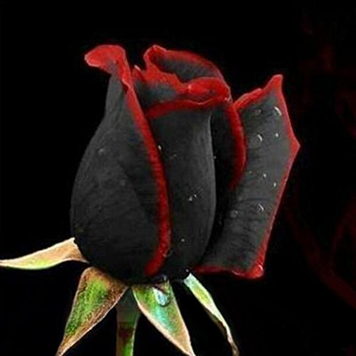 50Pcs/Pack Rare Black Rose with ...