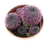 Piante grasse vere rare Sulcorebutia rauschii viola Produzione Viggiano Cactus Succulente da collezione