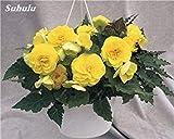 120 pezzi misti Belle Begonia Semi Rare Rose Rieger fiori in vaso Bonsai Garden Courtyard Balcone piantare semi Begonia secco 4