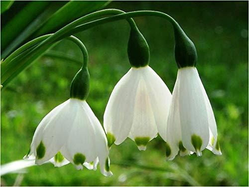 waite SCHULEN: - Leucojum aestivum Riesen Schneeglöckchen (Sommer-Schneeflocke) SEED Frühlings-Garten Staude (10) ()