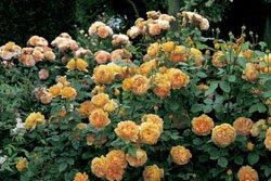 'Golden Celebration' -R-, Englische Rose im 4 L Container